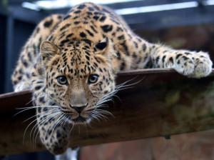 3. lunarni dan leopard koji se sprema za skok